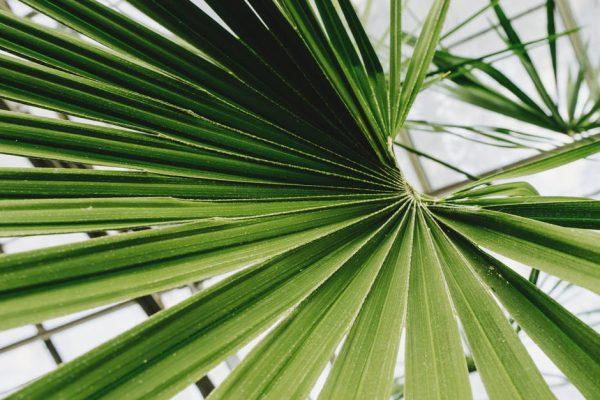 Palmboom cadeau geven voor in de eigen tuin
